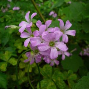 dogwood-blossom