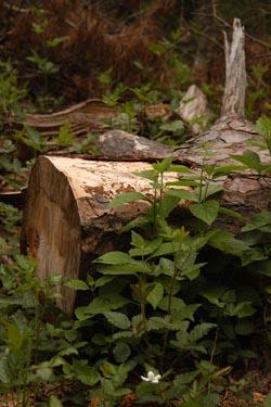 flower-an-cut-pine
