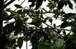 magnolia_branches