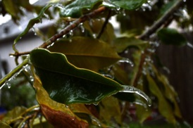 magnolia_leaf